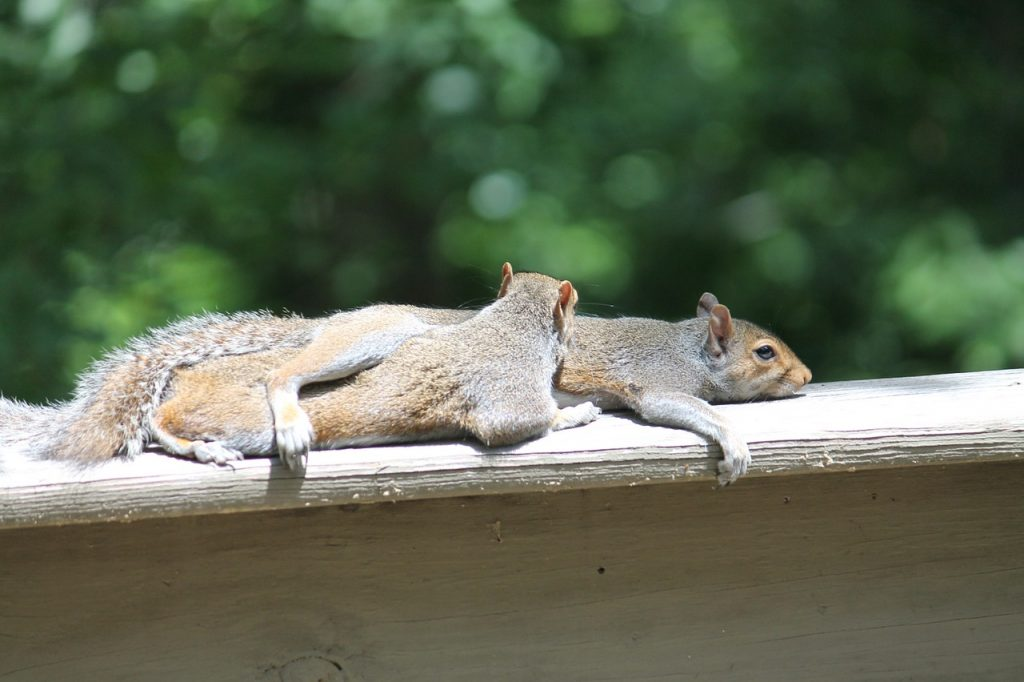 squirrels-834483_1280