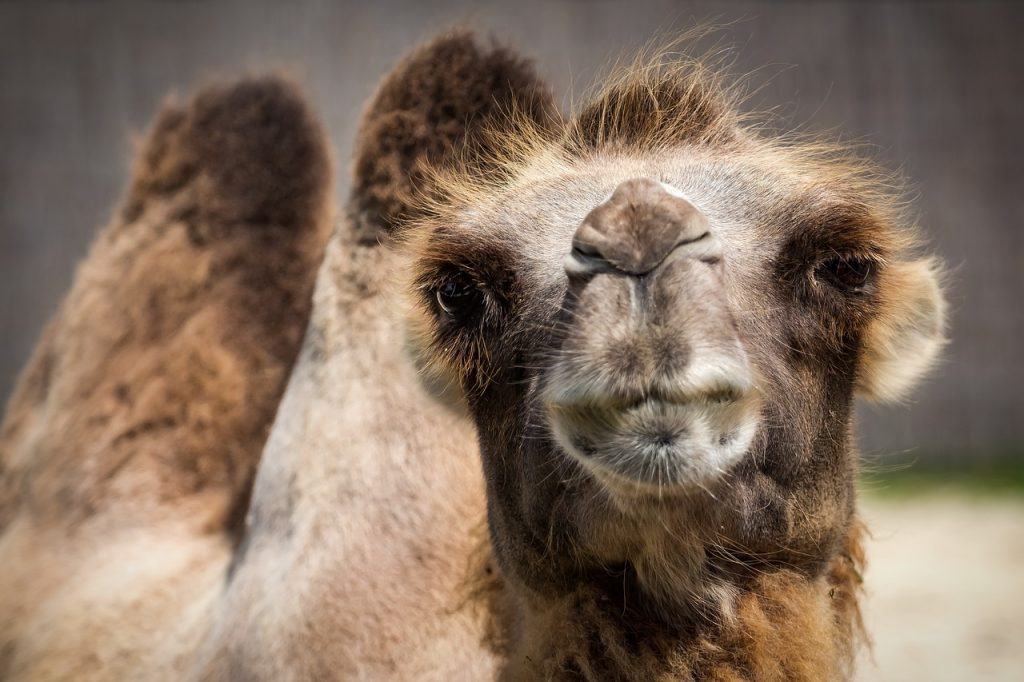 camel-1615446_1280