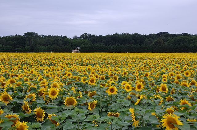 640px-Field_of_sunflowers