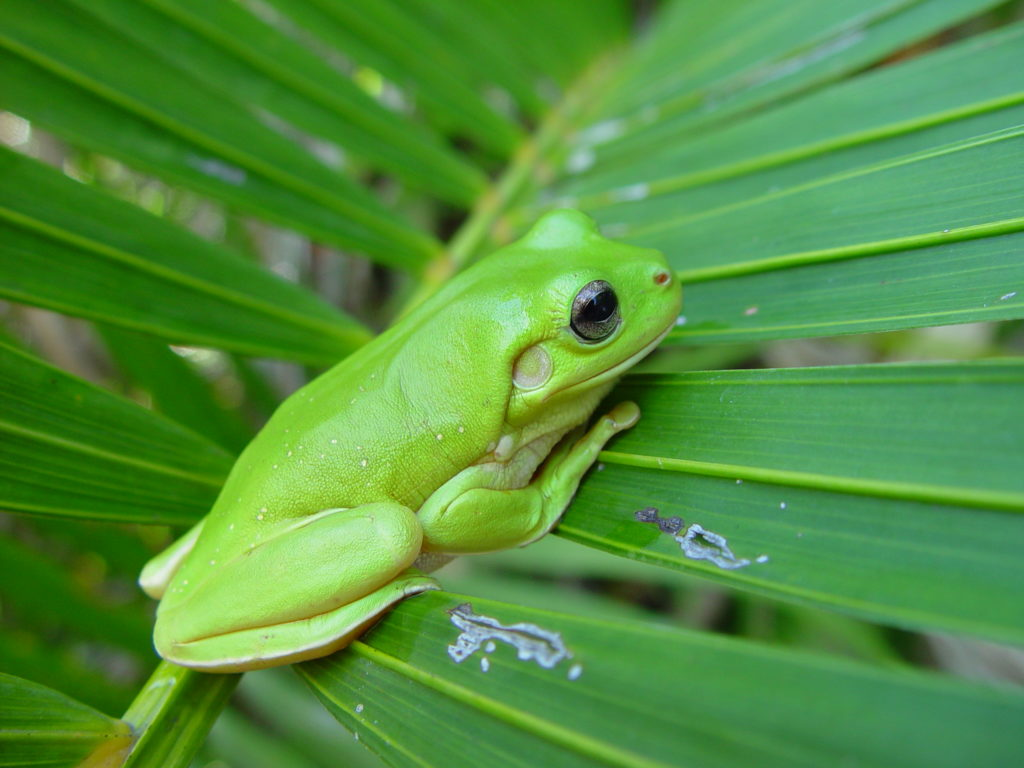 Frog_on_palm_frond